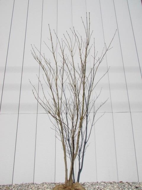 アオダモの画像 p1_32