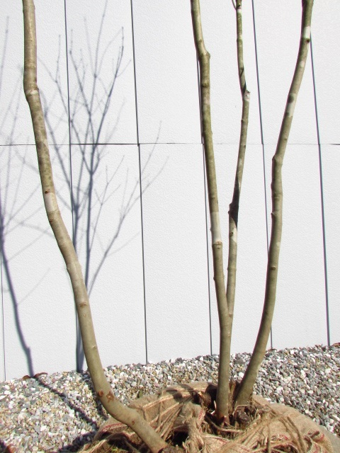 アオダモの画像 p1_24
