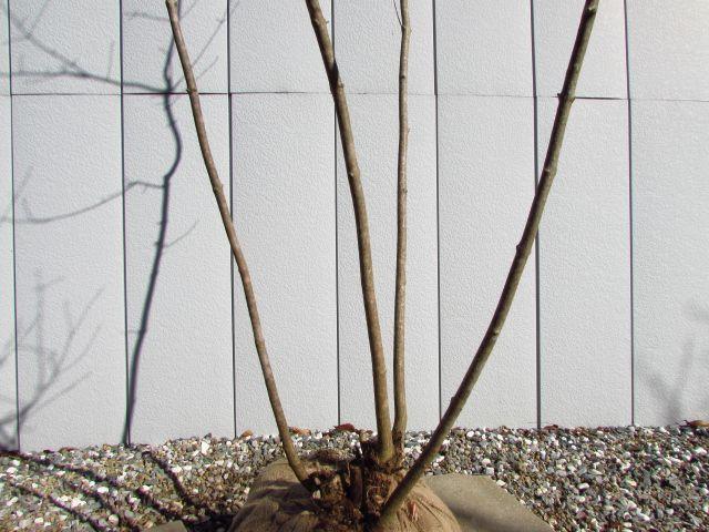 イタヤカエデの画像 p1_30